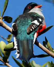 Cuban Trogon - Authentic Cuba